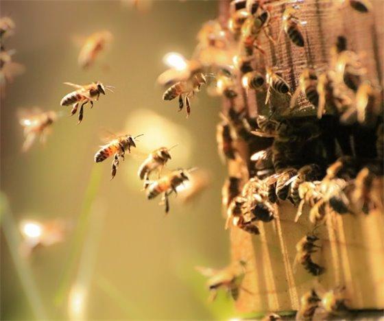 Honeybee Picture