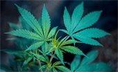 Marijuana Plant Picture