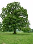 Oak Tree Picture