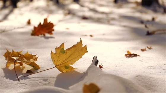 Leafs on the snow picture