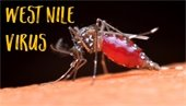West Nile Virus Mosquito Picture