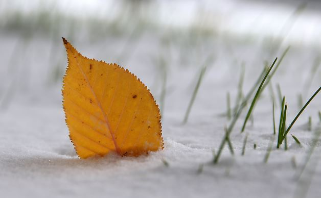 leaves in snow 2